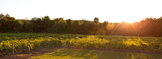 Shelburne-Road-Vineyard